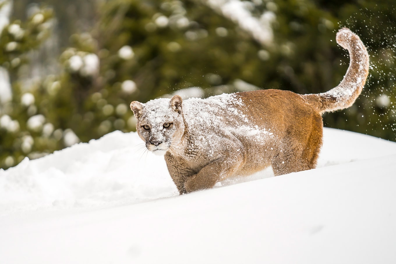 suha-derbent-sony-alpha-7RIII-majestic-snow-cat-prowling-through-snow-drift