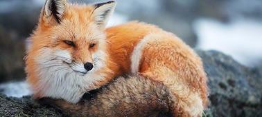 Kép egy rókáról, bemutatva a 4K képtisztaságot