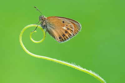 petar-sabol-sony-rx10IV-butterfly-sitting-on-the-end-of-a-curled-leaf-stem